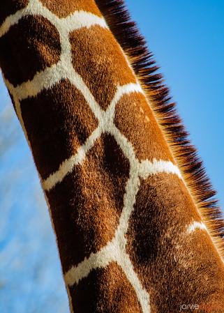 Giraffe - SLC Zoo