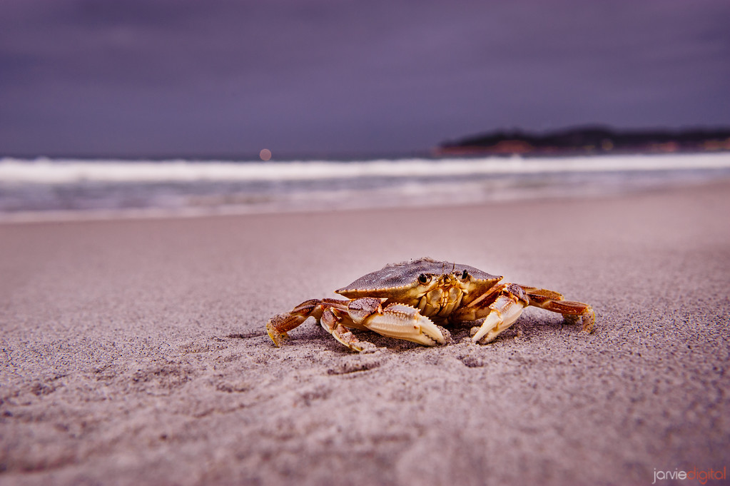 Crab - Carmel California