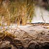 California Snake