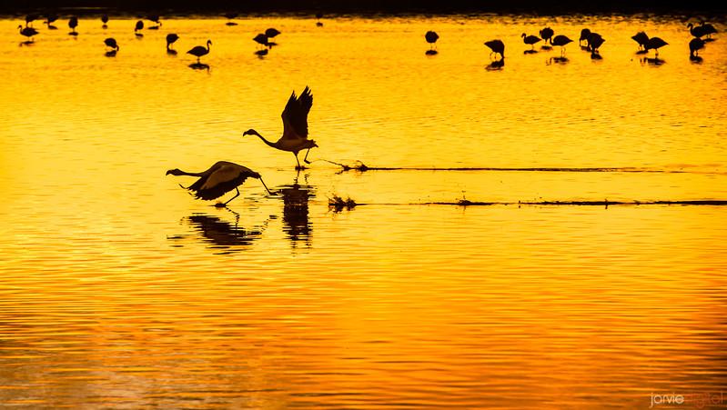Flamingos - Bolivia