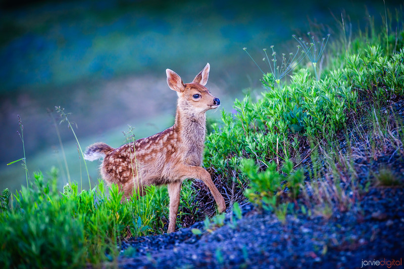 Fawn - Olympic National Park