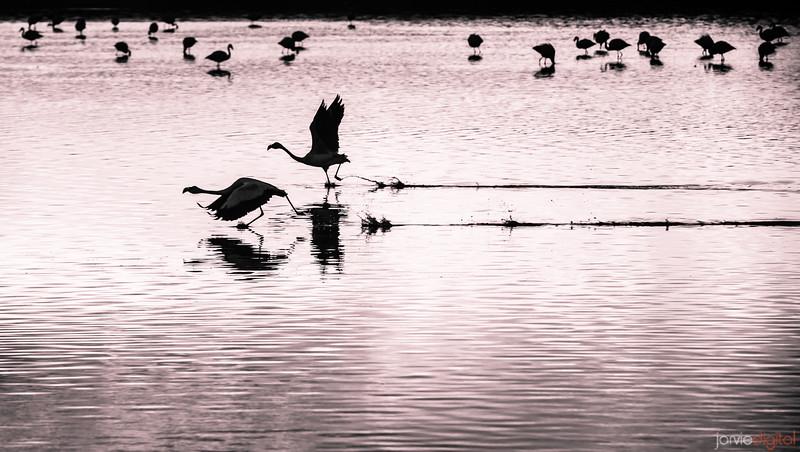 Flight of the Flamingos