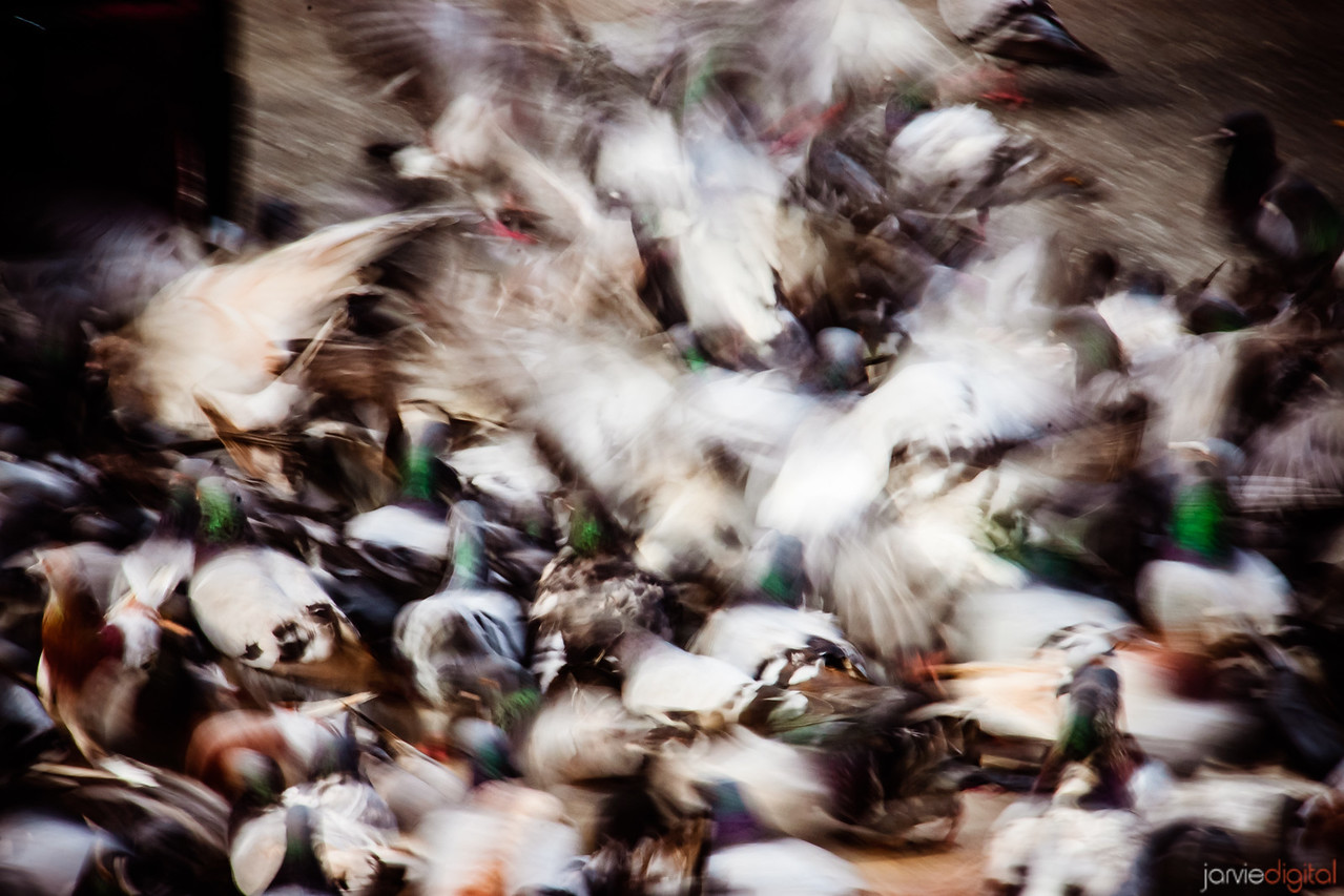 Paris Pigeons