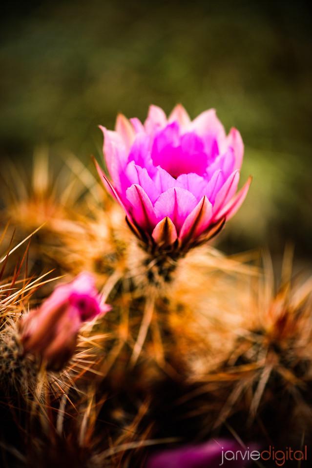 Desert Blossoms - Joshua Tree
