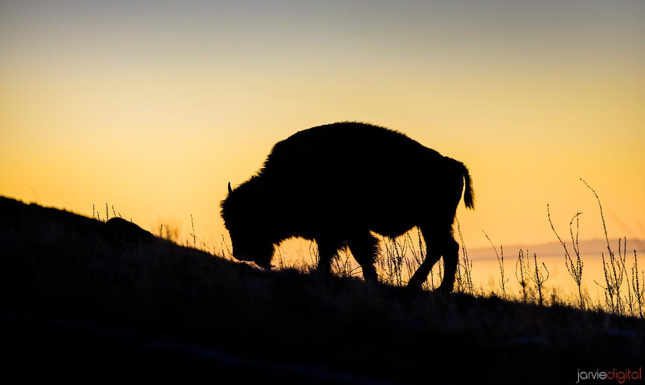 Bison - Antelope Island