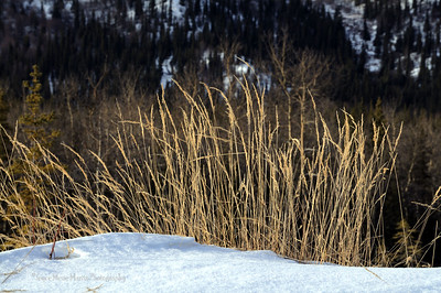 Golden wild grasses in Denali National park.