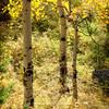 Aspens | Fall 2011| SWCO # 012