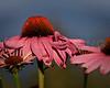Ecinacea, or Purple Cone Flower.  Rangeley, Maine.