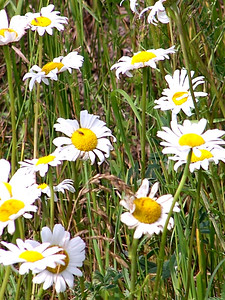 Wild Daisies-Presque Isle, Maine 2004 Available for purchase