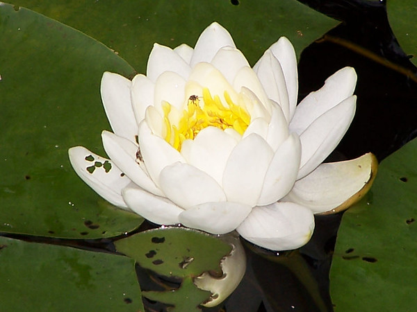 Lily Pad Flower-Bar Harbor Maine 2004 Available for purchase