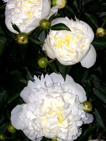 White Peonies-Bar Harbor Maine 2004 Available for purchase