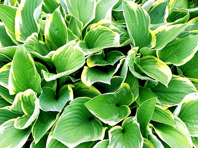 A Hosta plant -Presque Isle, Maine 2004 Available for purchase