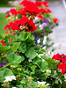 Red Geraniums-Bar Harbor, Maine 2004<br /> Available for purchase