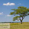 One tree off center right in an open field of grass with blue sky and clouds.