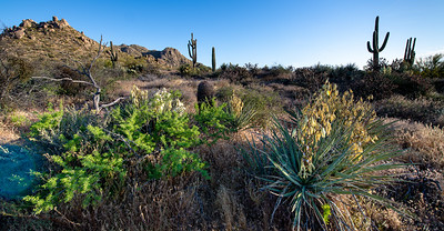 Saguaro are the tall cactus with the long arms.  They can be over 150 years old.  Yucca are the white flower cactus in the middle.