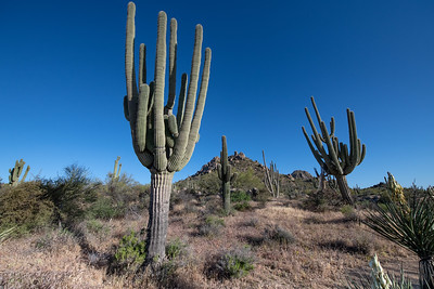 Saguaro are the tall cactus with the long arms.  They can be over 150 years old.