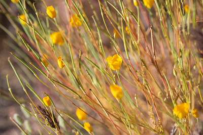 Mexican gold poppy.