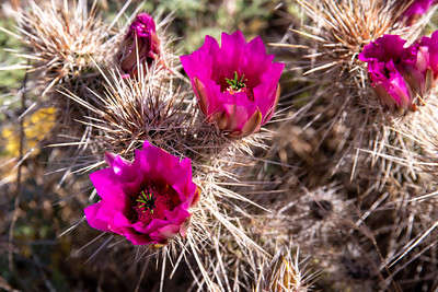 Flowers from the Strawberry Hedgehog cactus