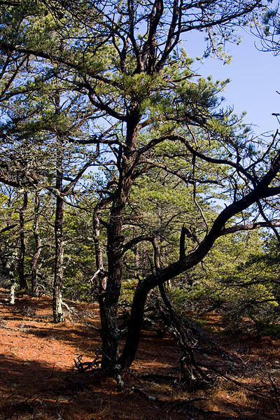 <center>Pines  <br><br>The area surrounding the national seashore - that isn't part of a community - is mostly pine forest.  <br><br>Great Island Trail - 17 March 2011<br>Cape Cod National Seashore<br>Wellfleet, MA</center>