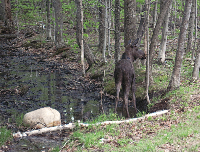 <center>14 May 2010<br><br><b><u>Young Moose  </u></b><br><br>This young moose was grazing by the side of Route 302 just before sunset.  I was traveling to Bartlett, NH for this weekend's hikes when I spotted her.  </center>