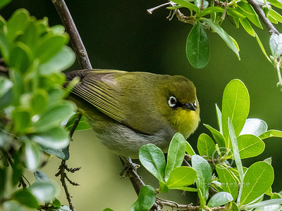 (R 796) Cape White-eye