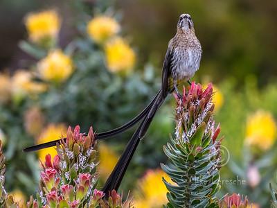 (R 773)  Cape Sugarbird