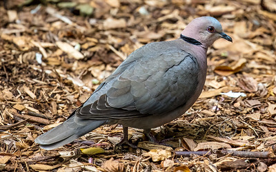 R 352 Red-eyed Dove