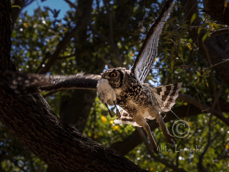 (R 401) Spotted Eagle-owl