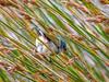 Swee Waxbill (R850)