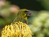 (R 877) Brimstone (Bully) Canary