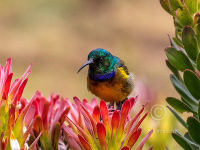 R 777 Orange-breasted Sunbird (m)