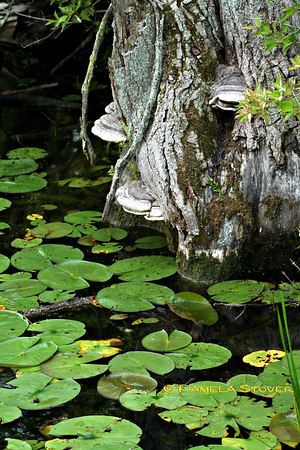 Mushroom - Lilly Pad<br /> © Pamela Stover<br /> Exposed Images Photography