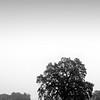 Oak in the Mist