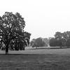 Pastoral Oak