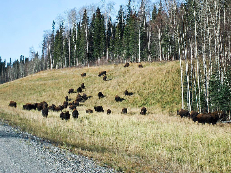 IMG_1706_ps  Liard River area Bison herd.