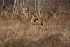 <center>White Tail Deer<br><br>Sachuest Point National Wildlife Refuge<br>Middletown, Rhode Island</center>