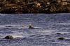 <center>American Black Ducks<br><br>Sachuest Point National Wildlife Refuge<br>Middletown, Rhode Island<center>