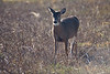 <center>White Tail Deer<br><br>Sachuest Point National Wildlife Refuge<br>Middletown, Rhode Island<center>