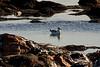 <center>Ring-Billed Gull<br><br>Sachuest Point National Wildlife Refuge<br>Middletown, Rhode Island</center>