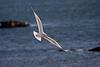 <center>Ring-Billed Gull<br><br>Sachuest Point National Wildlife Refuge<br>Middletown, Rhode Island<center>