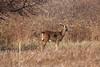 <center>White Tail Deer<br><br>Sachuest Point National Wildlife Refuge<br>Middletown, Rhode Island<center>