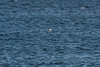 <center>Bahama Swallow (Accidental)<br><br>Sachuest Point National Wildlife Refuge<br>Middletown, Rhode Island<center>