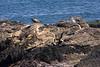 <center>Pair of Gulls <br><br>Sachuest Point National Wildlife Refuge<br>Middletown, RI</center>
