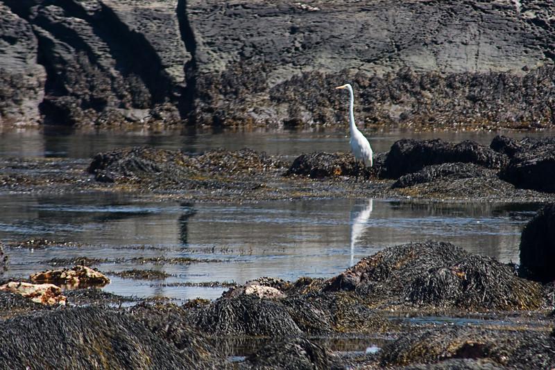 <center>Snowy Egret <br><br>Sachuest Point National Wildlife Refuge<br>Middletown, RI</center>