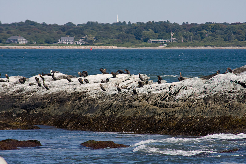 <center>Cormorants on the Rocks <br><br>Sachuest Point National Wildlife Refuge<br>Middletown, RI</center>