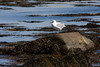 <center>Gull <br><br>Sachuest Point National Wildlife Refuge<br>Middletown, RI</center>