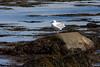 <center>Gull <br><br>Sachuest Point National Wildlife Refuge<br>Middletown, RI</center>