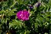 <center>Wild Flower <br><br>Sachuest Point National Wildlife Refuge<br>Middletown, RI</center>