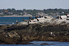 <center>More Cormorants <br><br>Sachuest Point National Wildlife Refuge<br>Middletown, RI</center>
