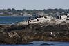 <center>More Cormorants <br><br>Sachuest Point National Wildlife Refuge<br>Middletown, RI</center>
